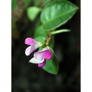 Eps desmodium flacon 150ml ( phytostandard - phytoprevent )